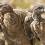 """La familia Cathartidae, un adelanto de """"Aves en familia"""", el nuevo libro de Guillermo Galliano"""