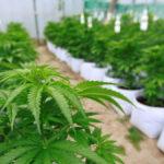 Sobreseen a un comerciante que publicitaba cannabis medicinal