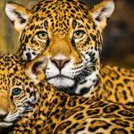 Historia evolutiva entrelazada de leones, tigres, jaguares y leopardos