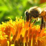 Según un estudio, los pesticidas impiden a las abejas formar colonias