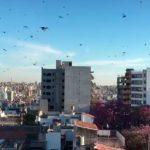 Lluvia de langostas en media ciudad