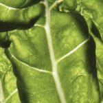 Descubren las razones que determinan el tamaño de las hojas