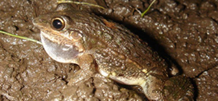 La rana y la evolución de la rodilla