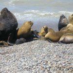 Ser lobo marino en la Patagonia