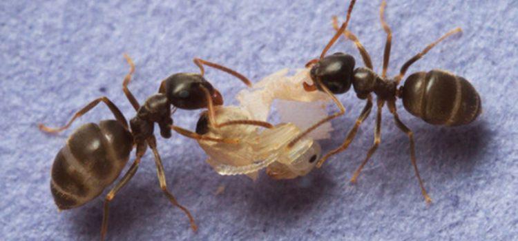 La receta de las hormigas
